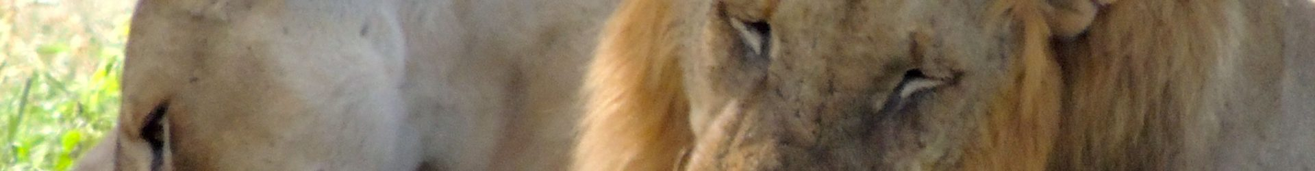 MOSTEČTÍ LVI — Weiden